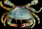 Blue Crab Giclee (3 Sizes available)